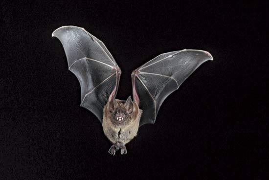 خفاش شب خفاش در آسمان خفاش زیبا چرا خفاش شب بیرون می آید