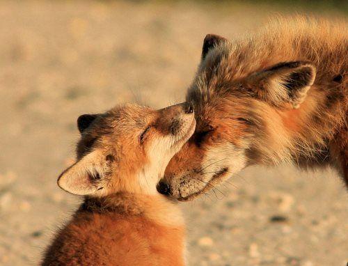بچه روباه مادر روباه روباه نینی بامزه