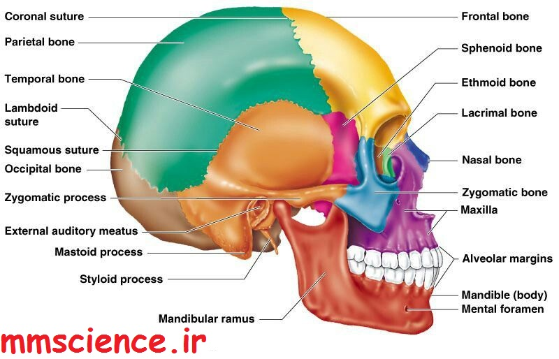 استخوان های سر جمجمه صورت چهره