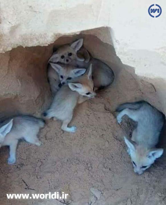 توله های روباه