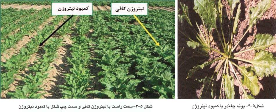 علایم کمبود نیتروژن در گیاه چغندرقند
