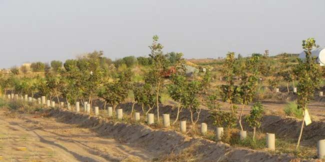 آبیاری زیر سطحی در درختان پسته