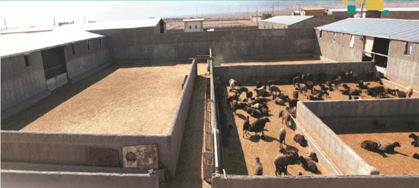 جایگاه پرورش گوسفند پرواری