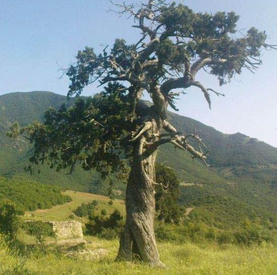 درخت صومعه کلیبر