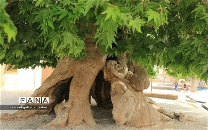 درخت نعل بند
