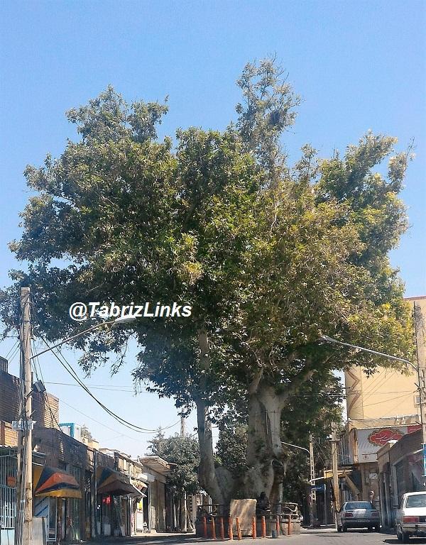 درخت باستانی