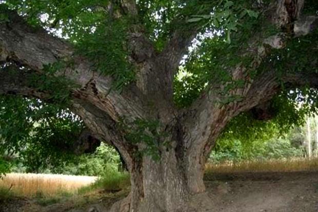 درخت پیر آذربایجان