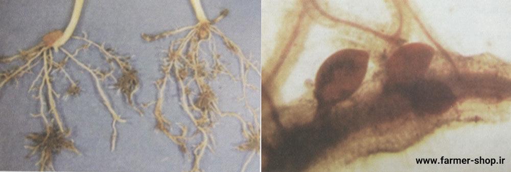 نماتد سیستی غلات ( Heterodera spp )