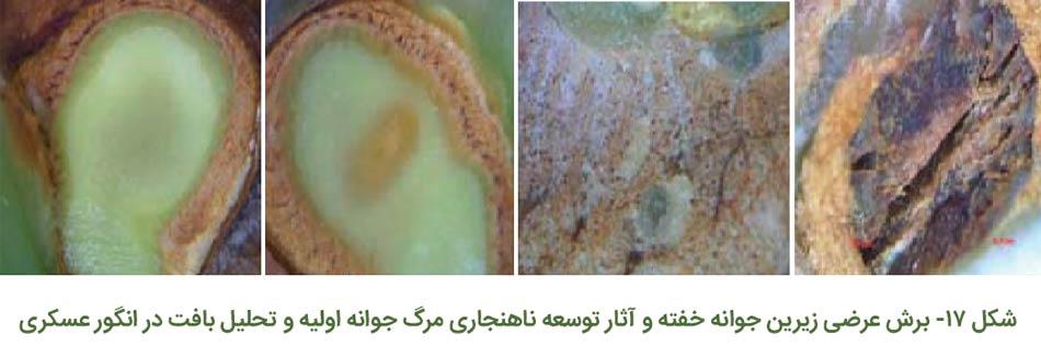 برش عرضی زیرین جوانه خفته و آثار توسعه ناهنجاری مرگ جوانه اولیه و تحلیل بافت در انگور عسگری