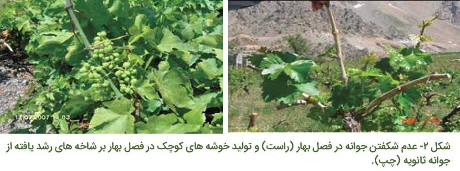 عدم شکفتن جوانه انگور در فصل بهار و تولید خوشه های کوچک در فصل بهار بر شاخه های رشد یافته از جوانه ثانویه