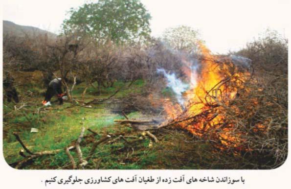 مبارزه با آفات چوبخوار و پوستخوار از طریق سوزاندن شاخه های آلوده