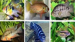 10 Most Popular Freshwater Cichlid Fish