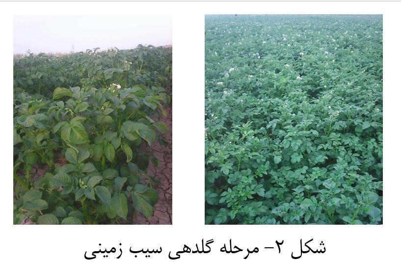 دانلود مقاله درباره نحوه تولید سیب زمینی ارگانیک - کشاورزی ارگانیک - محصولات ارگانیک