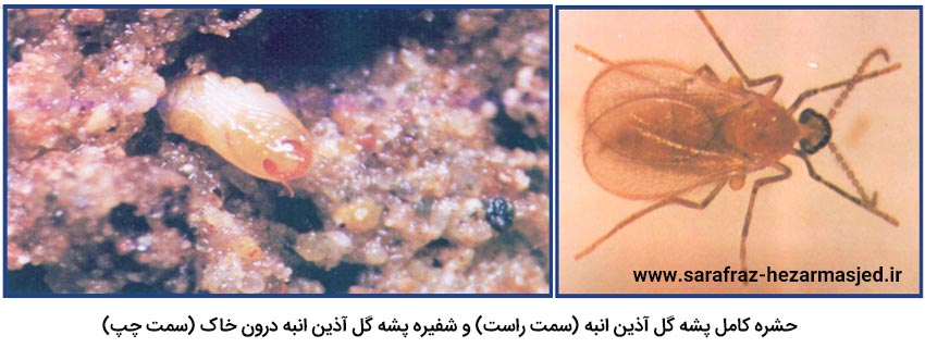 حشره کامل آفت پشه گل آذین انبه و شفیره آن درون خاک
