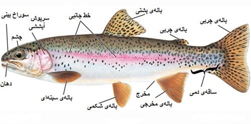 ساختار بدن ماهی