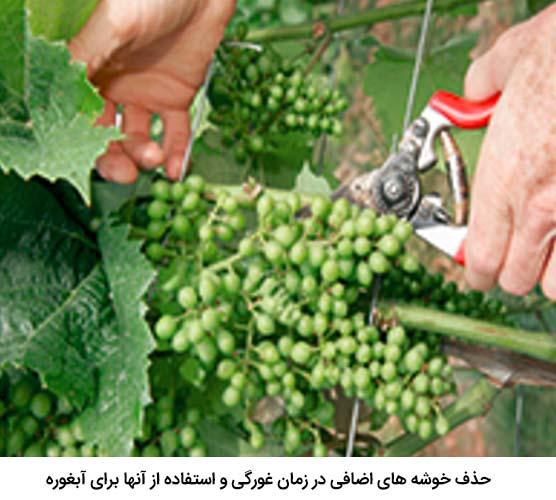 حذف خوشه ها در انگور و استفاده از آن ها برای آبغوره