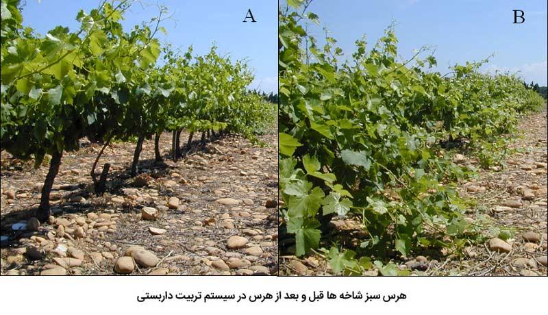 هرس سبز شاخه ها قبل و بعد از هرس در سیستم تربیت داربستی