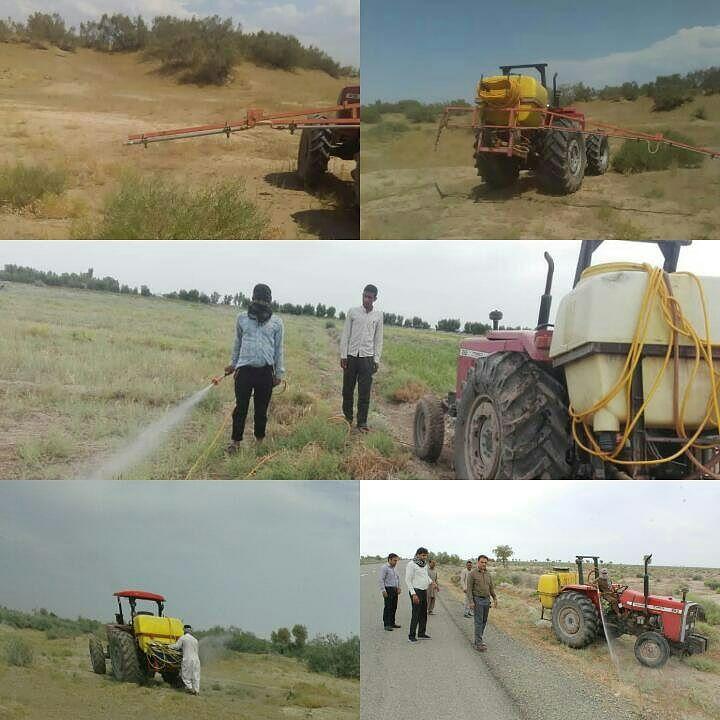 هجوم ملخ ها به مزارع جنوب کرمان و جازموریان