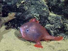 http://s9.picofile.com/file/8364882268/deep_sea_anglerfish_spotted_live_blue_juvenile_58595_600x450.jpg