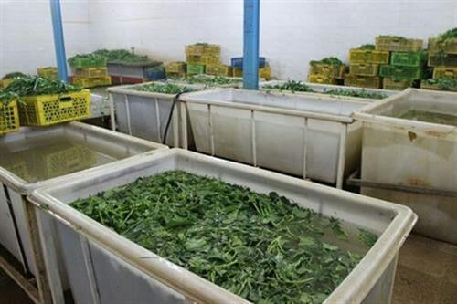 سبزیهایی که عطر زندگی میدهند/ میخواهم برای ۱۰۰ نفر شغل ایجاد کنم